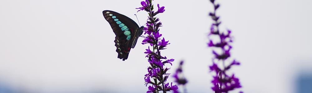 Ein Schmetterling sitzt auf der Blüte einer Pflanze. Wie sein Flügelschlag das Wetter verändern kann, so verändert die wingwave-Methode Ihr Leben - durch das Entfaltung von positiven Gefühlen und Zuständen.